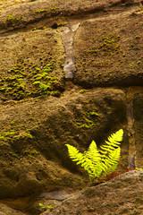 Fern on the stony wall