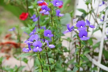 Purple Brazilian snapdragon beautiful flower