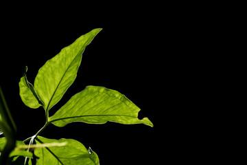 green leaf on black background.