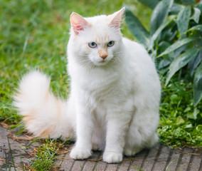 Cat breed Turkish Vankedisi or Turkish Angora