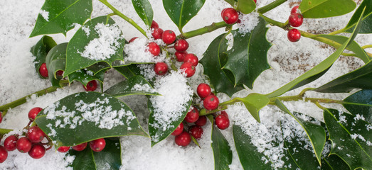 Winter theme with holly in snow (Ilex aquifolium).