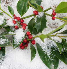 Ilex aquifolium, holly, branches with red berries in the snow,