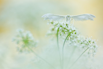 White butterfly on soft background. White plume moths, Pterophor