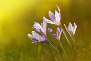View of magic blooming spring flowers crocus growing from fresh