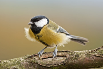 great tit, parus major, Czech republic