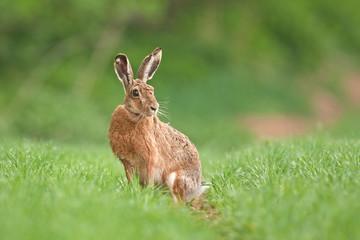 european hare, lepus europaeus, czech republic