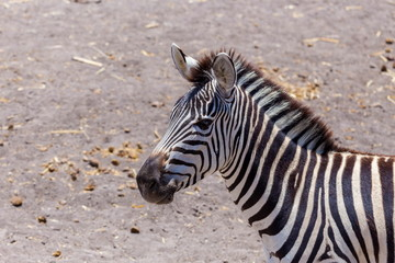 Aluminium Prints Zebra The plains zebra is the most common, and has or had about six subspecies distributed across much of southern and eastern Africa. Each animal stripes are unique as fingerprints, none are exactly alike