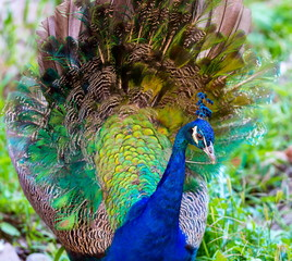 Commonly called the peacock. The Indian peafowl or blue peafowl, a large and brightly coloured bird, is a species of peafowl native to South Asia, but introduced in many other parts of the world.