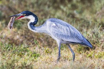 Black Headed Heron swallowing its shrew prey