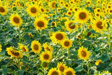 Sunflowers,Yellow flowers.