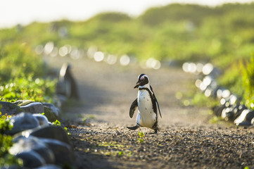 African Penguin carrying a stone