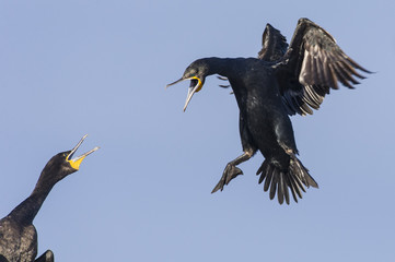 Cape Cormorant landing at its nest site