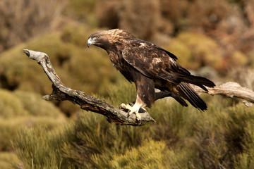 Old male of Golden eagle. Aquila chrysaetos