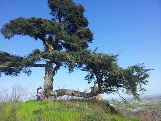 albero secolare cedro del libano