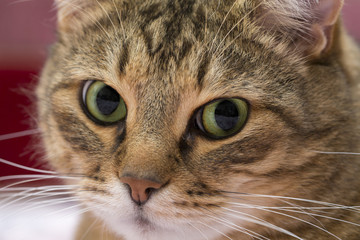 Close up portrait of cute green-eyed cat