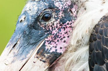 Detailed portrait of a Marabou Stork