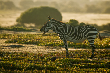 Cape Mountain Zebra Stallion at dawn
