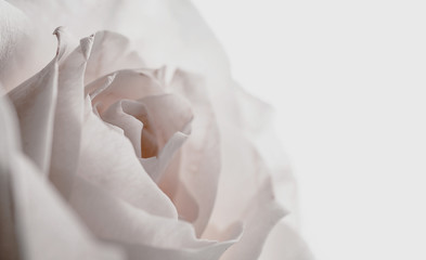 white rose on dark background