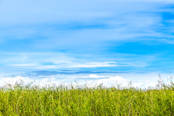 Summer view with copy space. Horizon of reed against blue sky with Cirrus clouds.