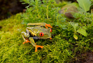 Red-eyed tree frog in the moss (Agalychnis callidryas), Costa Rica