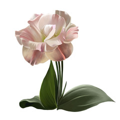 Luxury eustoma flower isolated closeup on white background