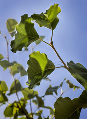 closeup of green leaves on a pear tree in summer against a blue sky