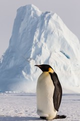 Life of an Emperor penguin in the big colony (with chicks!))
