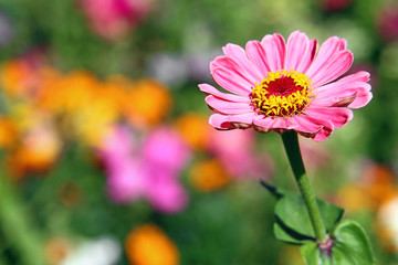 Pink Daisy flower with blurred background