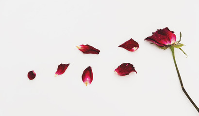 Faded blowing rose flower's petals, on white background
