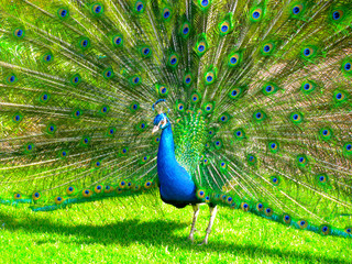 A proud peacock displays his feathers..