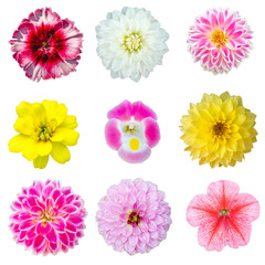 Collection set of colorful Dahlia, Pansy, Melampodium Divaricatum or Little yellow star, Dianthus chinensis or Dianthus and Petunia isolated on white