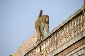 The wild animal a monkey a macaque in India