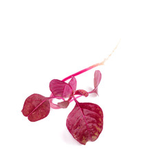 red spinach isolated on white background.