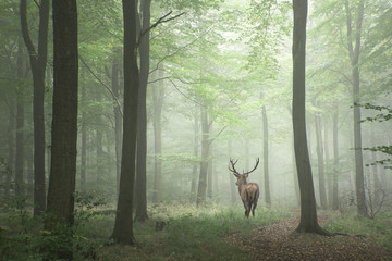 Fotorolgordijn Khaki Beautiful image of red deer stag in foggy Autumn colorful forest