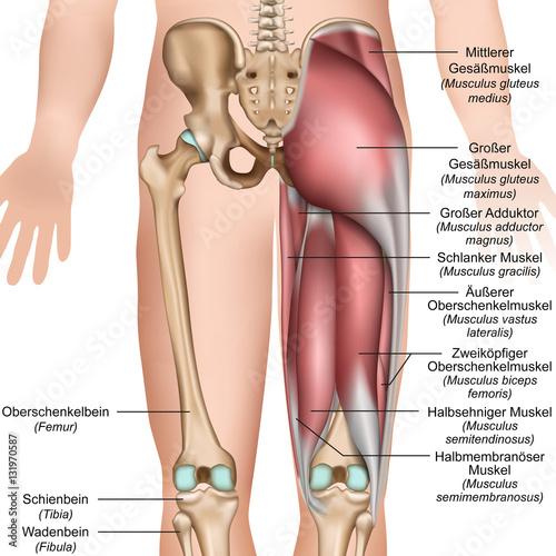 Anatomie der Oberschenkel und Gesäßmuskulatur \