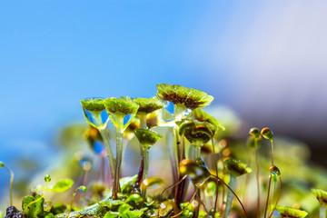 A perennial plant of Marchantia (lat. Marchantia)