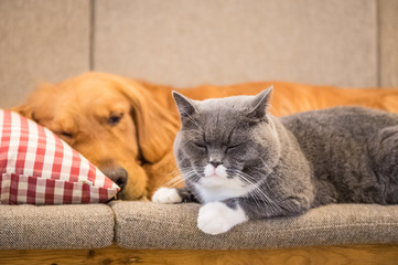 Golden retriever and cat sleep on the couch