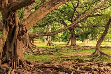 Sri Lanka:Royal Botanical Gardens, Peradeniya, Kandy