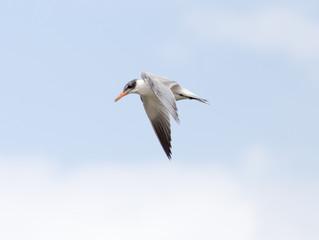 seagull in flight in the sky