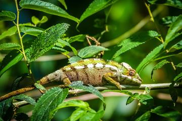 Small colourful chameleon