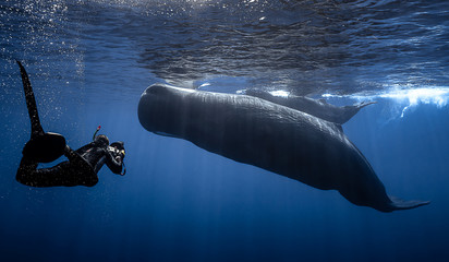 Encounter between a free diver and a sperm whale.