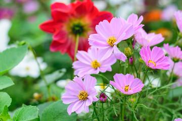 Cosmos flowers in an autumn garden