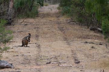 Wall Mural - Swamp Wallaby sitting alongside a vehicle track in the Australian bush