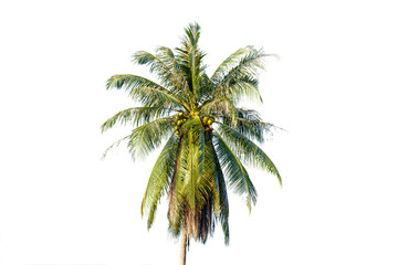 Coconut palm trees on white background