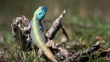 Blue headed tree agama lizard