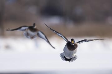Wall Mural - Flying Mallard Ducks
