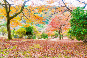 Red maple leaves blooming at Arashiyama