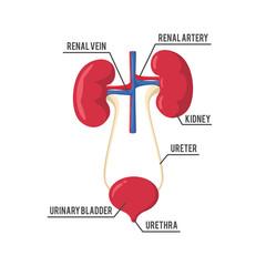 urinary system anatomy illustration design