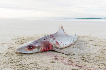 Smooth Hound Shark caught by line fisher and abandoned