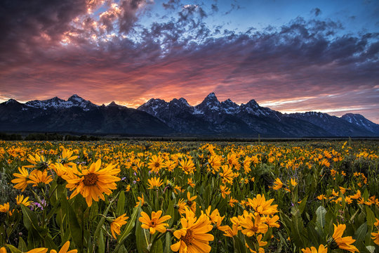 Grand Tetons and wildflowers at sunset